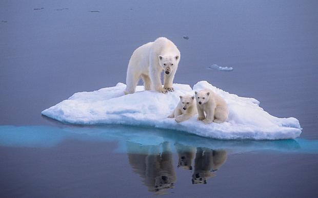 Global warming polar-bear